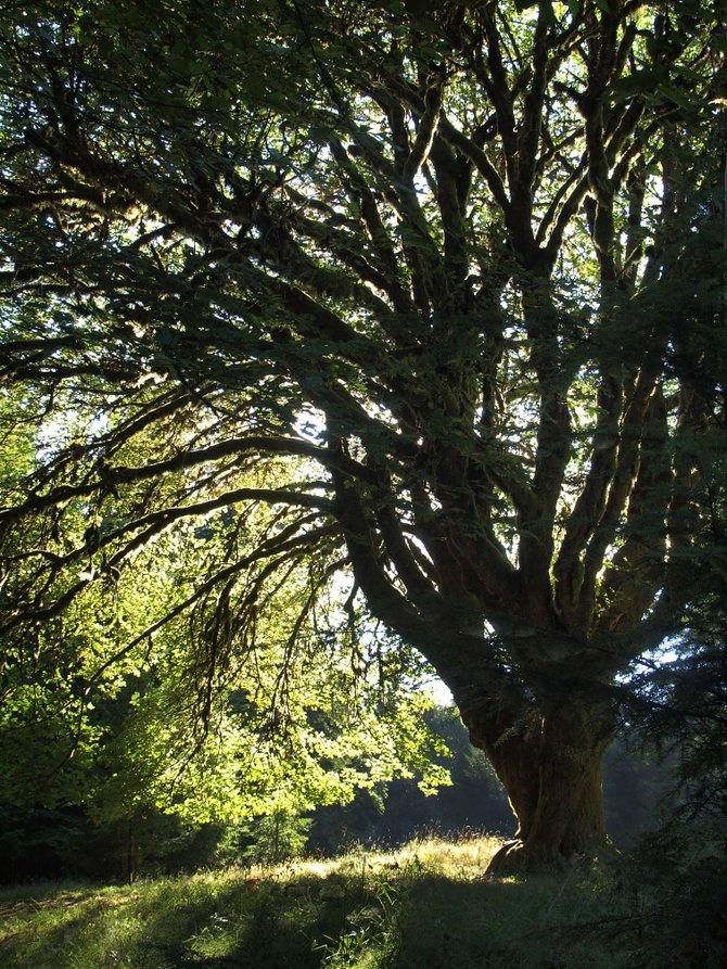 """""""Enchanted Tree."""" Just outside Bremerton, Washington."""