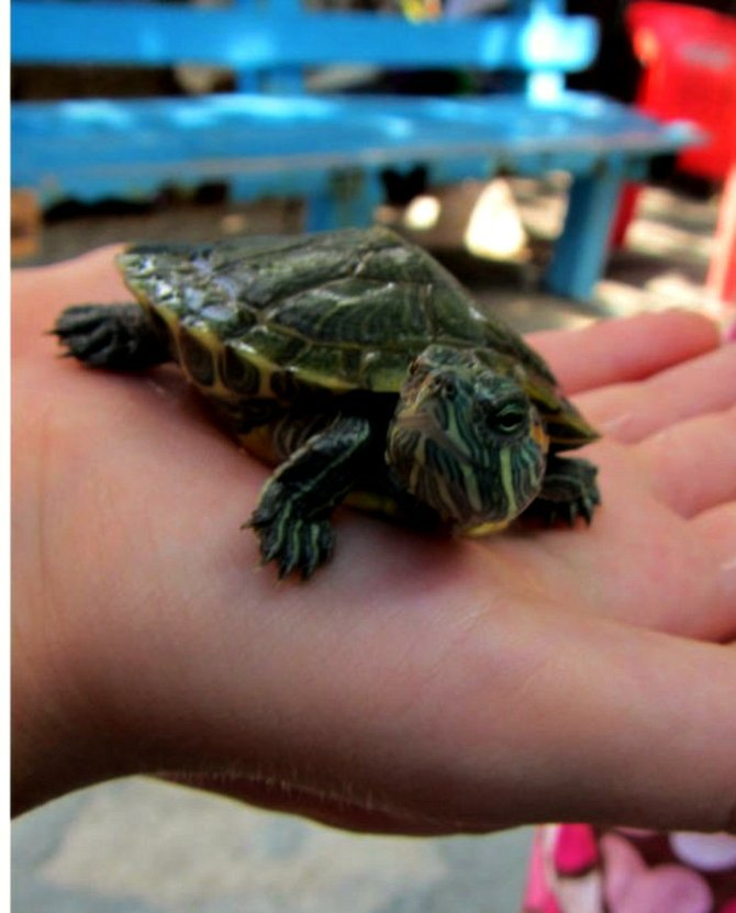 Baby turtle at turtle farm.