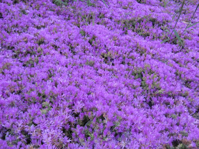 Purple ground cover seen throughout Carlsbad CA