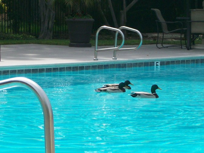 Three ducks enjoying a swim at a pool in Ocean Beach.