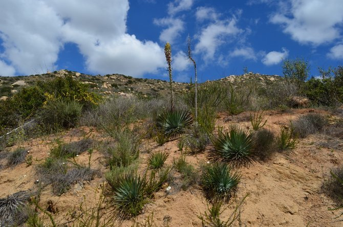 Yucca whipplei, Blue Sky Ecological Reserve, Poway, California