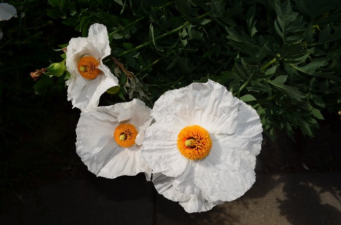 Matillja poppies (Romneya coulteri), Oceanside, California