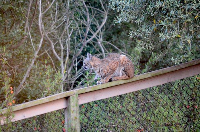 Bobcat (Lynx rufus) on my backyard fence.  Rancho Penasquitos, California