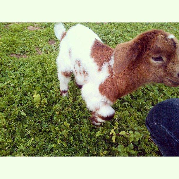Baby goat in bonita neigbhorhood