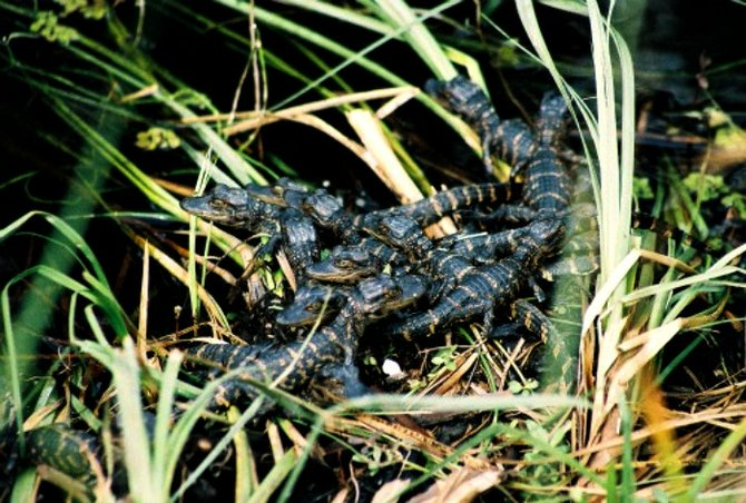Baby alligators in a nest on the river bank