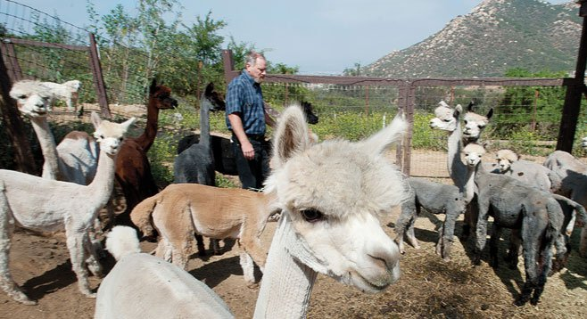 Davies raises alpacas on his ranch in the unincorporated community of Crest.