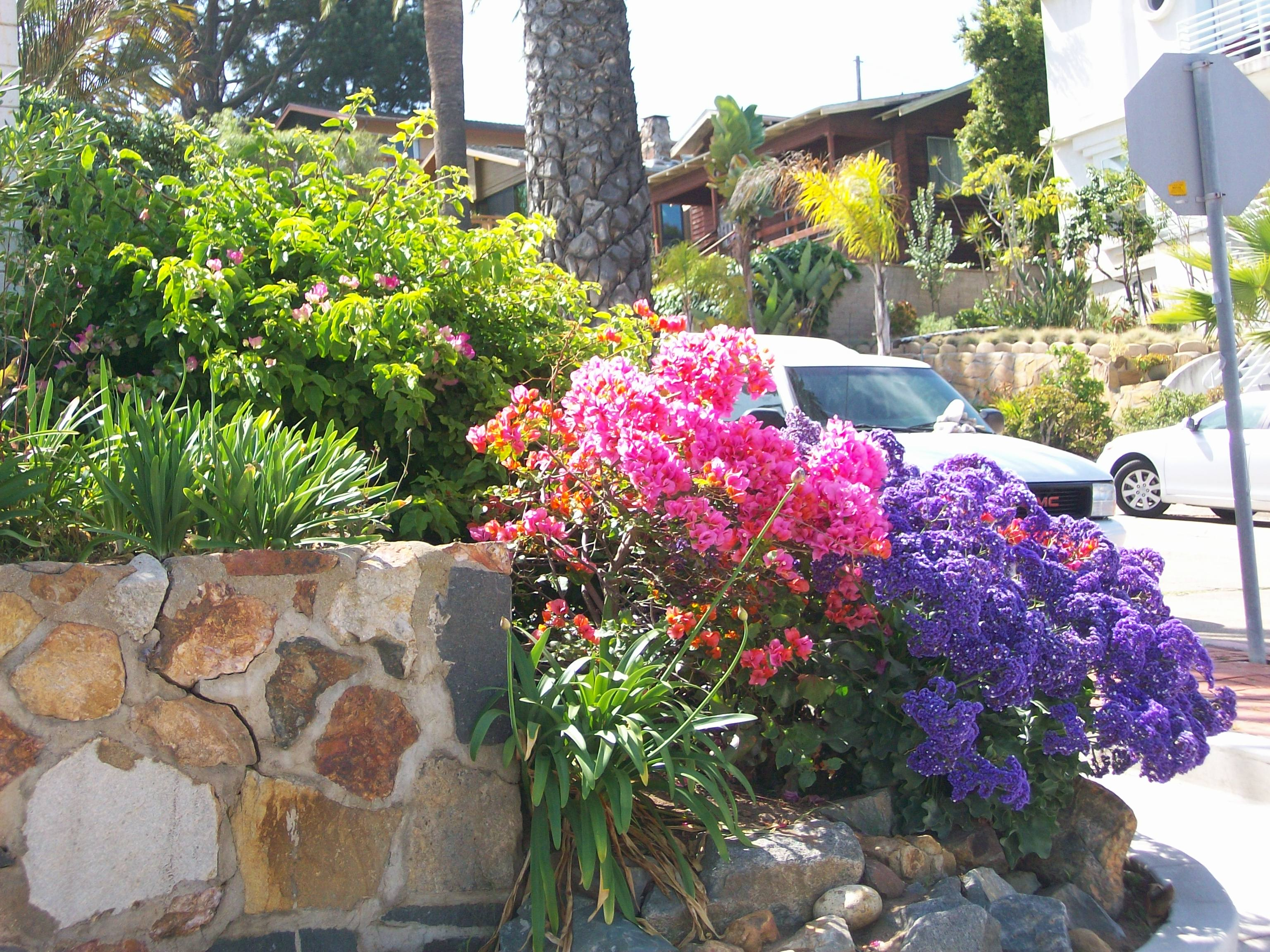 Colorful flowers in front yard of Pt. Loma home.