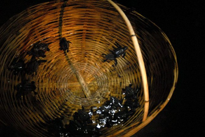 The basket is dipped into the water for their first swim, and then the baby turtles are released into the ocean tide.