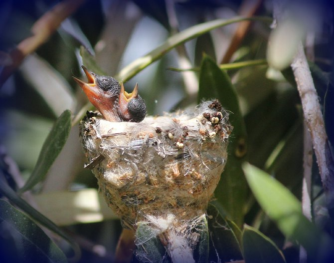 These little sweet hearts, (Thing 1 and Thing 2) were born May 27th, 2013 right outside on an Olive tree next to my kitchen window. The Olive tree is worldly known for Peace and the Hummingbird for it's tiny body which can fly 80 miles without stopping during migration.