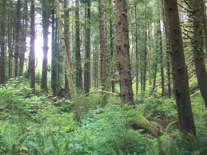 Coastal Oregon's temperate rainforest near Ecola State Beach is full of stately trees.