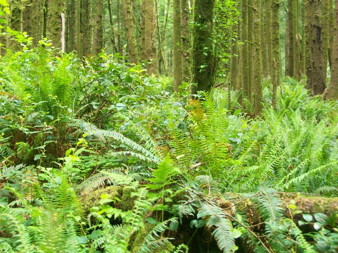 Wild ferns dot the temperate rain forest floor near Ecola State Beach and Seaside, Oregon.
