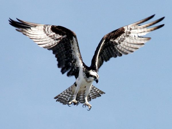 Osprey in flight (NASA photo, from the Nationalgeographic.com).