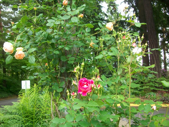 "Roses at Waterfront Park in Portland, Oregon--the ""City of Roses."""