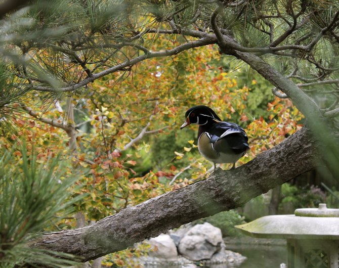 A lonely wood duck at San Diego Zoo