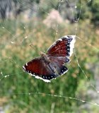 Bad luck butterfly at Miramar Lake