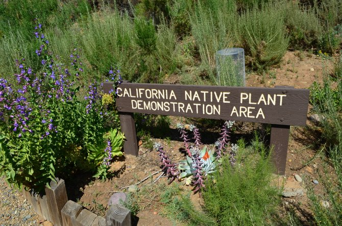California Native Plant Demonstration Area, Morley Field, near Balboa Park, April 2012.  Visible plants include Penstemon spectabilis (the purple flowers), Dudleya pulverulenta (the succulent), and Artemesia californica (the green furry stuff).