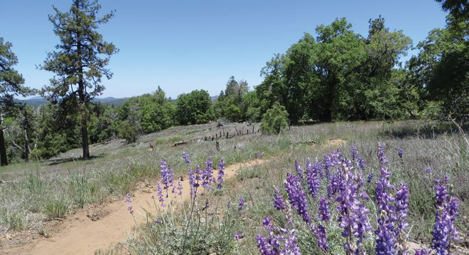Lupine is one of the many species of flowers found along the trail.