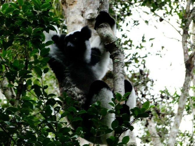 Indiri lemur.