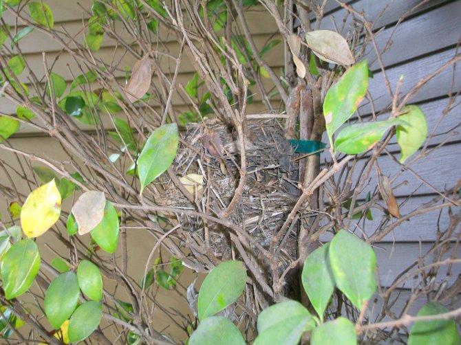 Birds nest in tree near Lake Colwell in Portland, Oregon.