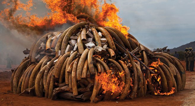 Brent Stirton's God's Ivory shows the burning of ivory from African elephants killed by poachers. (Pictures of the Year International is a program of the Donald W. Reynolds, Journalism Institute at the Missouri School of Journalism.)