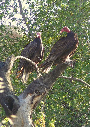 A pair of turkey vultures perch near the trail up to Stelzer Summit.