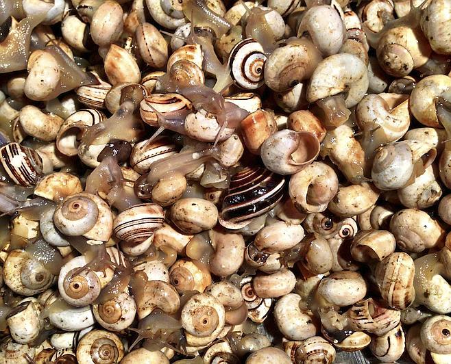 Snails at the Rialto fish market.