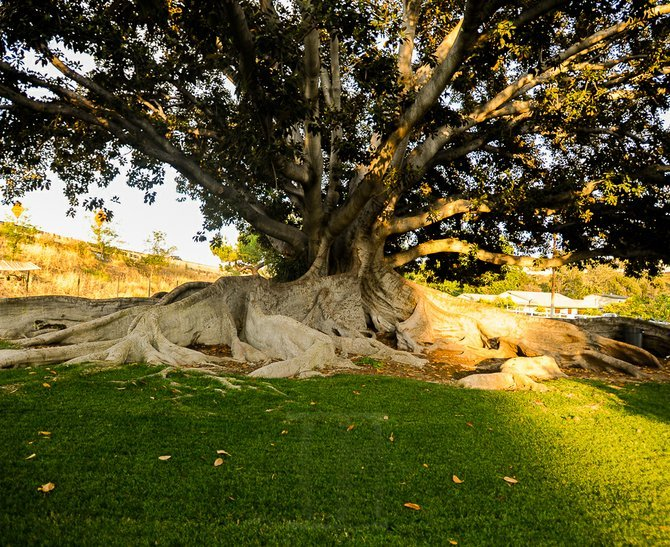 Moreton Bay fig tree in Spring Valley also known as the Wedding Tree.