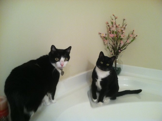 Looking for a great home for one or both of these beautiful cats.  FREE.  please call.  808-258-4870