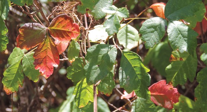 Beware of poison oak; it grows vigorously and can be beautiful when the leaves are mixed red and green.