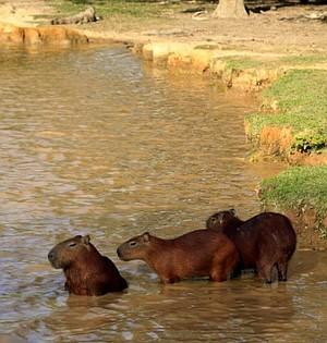 Capybaras in the Llanos.