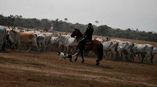 Llanero rounding up cattle on the finca.
