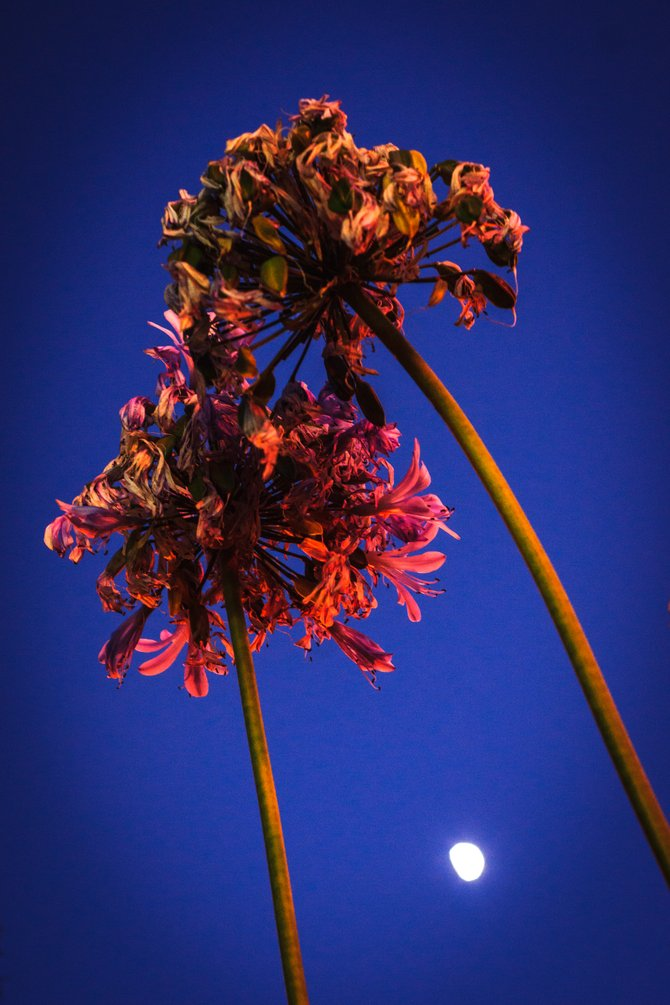 Some flowers growing near the corner of Regents and Nobel by the UTC mall just after sunfall, with the crescent moon shining down from above.
