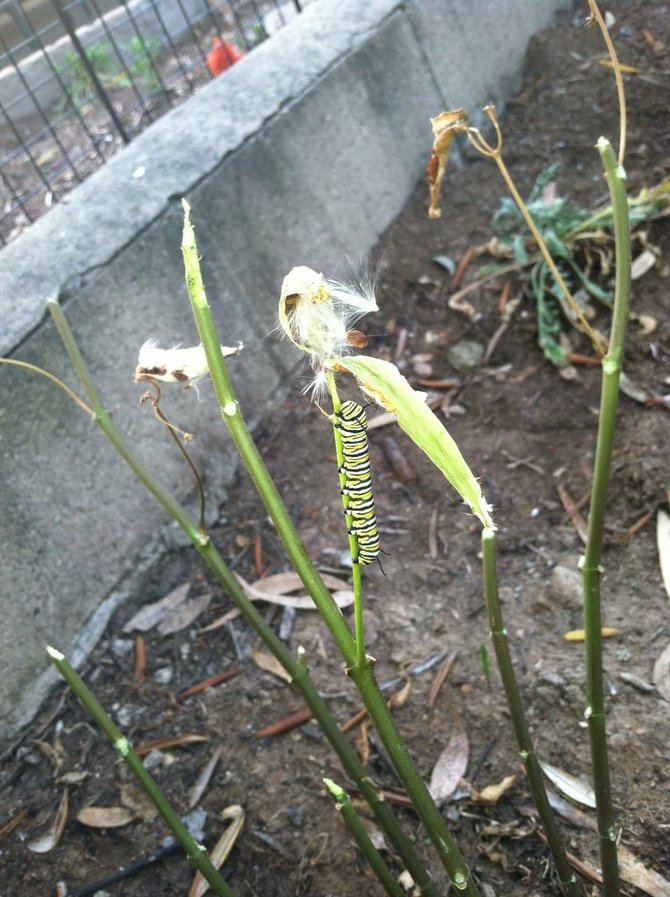 Growing Monarchs with Milkweed on La Mesa Slope
