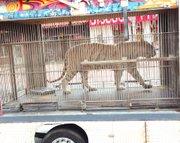 El Tigre!