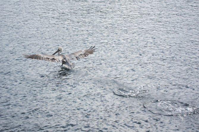 Catalina Island pelican
