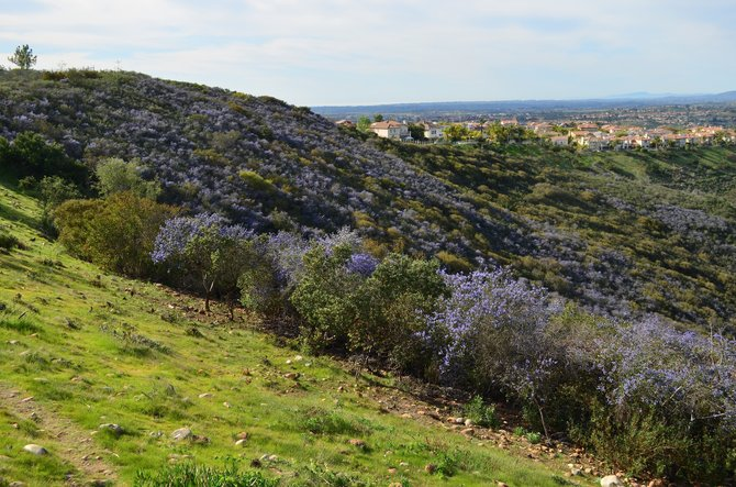 """Ceanothus bloom, March 2013, Rancho Penasquitos  Hard for me to believe we've cleared so much of this """"brush"""" for crummy pepper trees, ice plant, acacia, eucalyptus, and other """"exotics.""""  What a waste."""