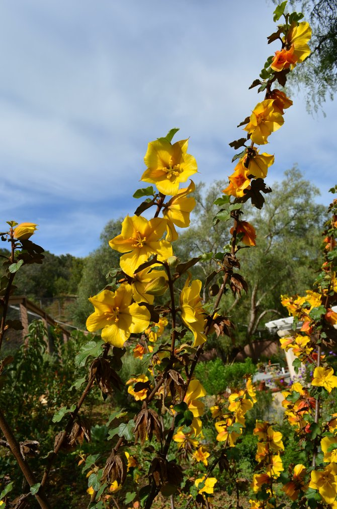 California Flannel Bush (Fremontodendron californicum) in my backyard, Rancho Penasquitos, March 2013.