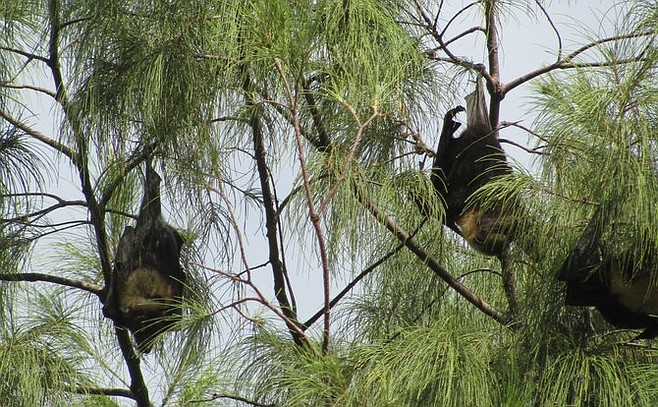 "Tonga's ""flying foxes."""