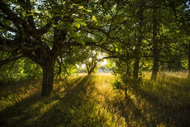 The afternoon sunlight floods through a rural grove of apple trees.  This was shot far along a winding off road trail near Lakeshore, CA in the Sierras.  The trail was originally made for a railroad track but hasn't been used since the 1930's.