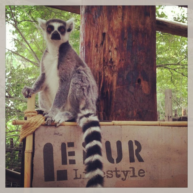 Lemur on a lemur sign
