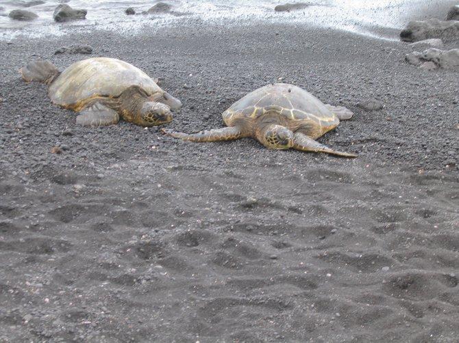 Sea turtles on Black sand beach in Hawaii