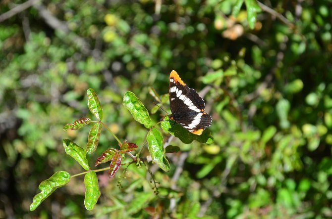 California Sister Butterfly (Adelpha californica), Blue Sky Ecological Reserve, Poway, CA, Spring 2013