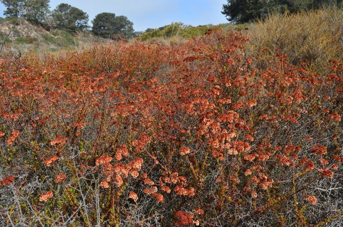 California Buckwheat (Eriogonum fasciculatum) in all of its summer brown glory.  Torrey Pines Extension, Del Mar, CA, August 2013