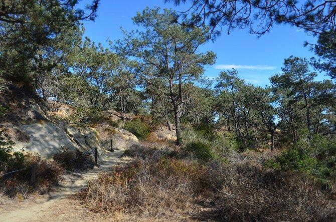 Hidden Pines Trail, Torrey Pines Extension, Del Mar, CA, August 2013