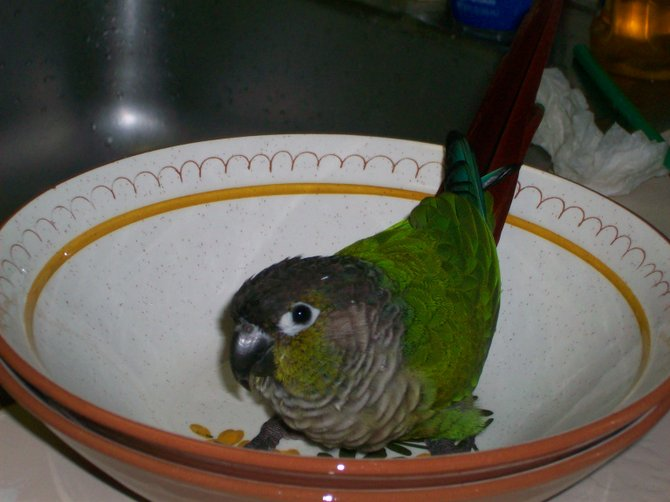 My conure, Sonny, enjoys lounging on fine china in Ocean Beach.