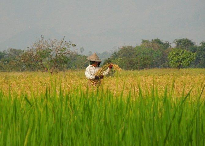 Worker in Rice Field, Pha-an, Myanmar (Burma).