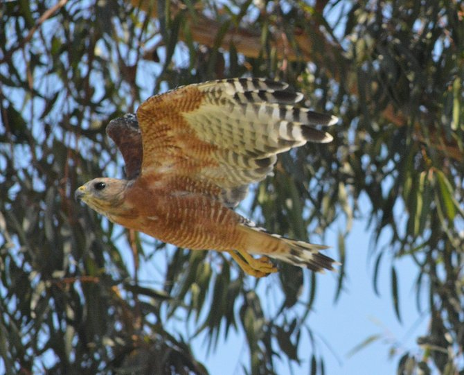 This is a red shouldered hawk that lives near my work. I stumbled upon him in a tree a got lucky to catch this shot of him taking flight.