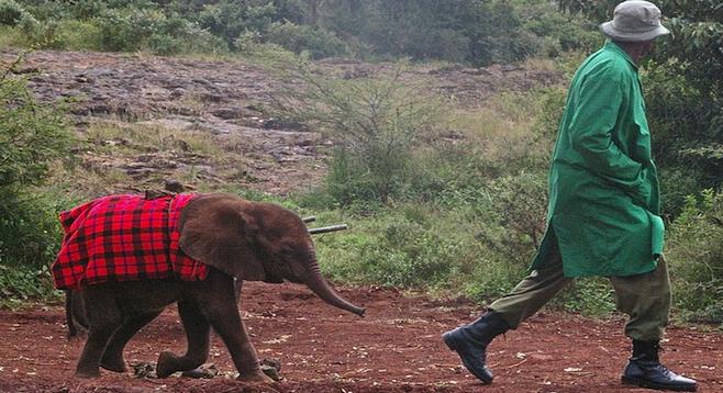 A common sight at Nairobi's Sheldrick Wildlife Trust.