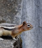 A chipmunk stretching at Banff National Park, Canada.