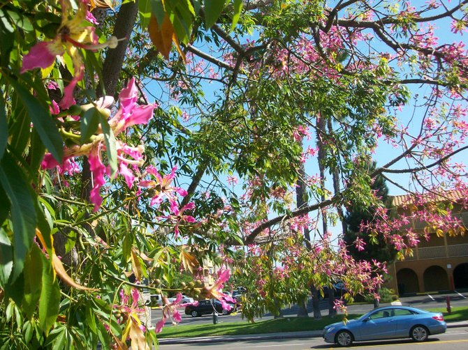 Pretty pink flowers line a driveway along Midway Drive in the Midway District.
